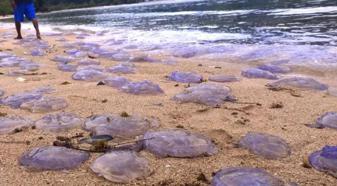 Ubur-ubur yang mati terdampar di Pantai Sungai Pinang, Pessel, Jumat (09/08/2019) lalu.