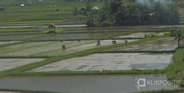 Petani di Padang menami sawahnya