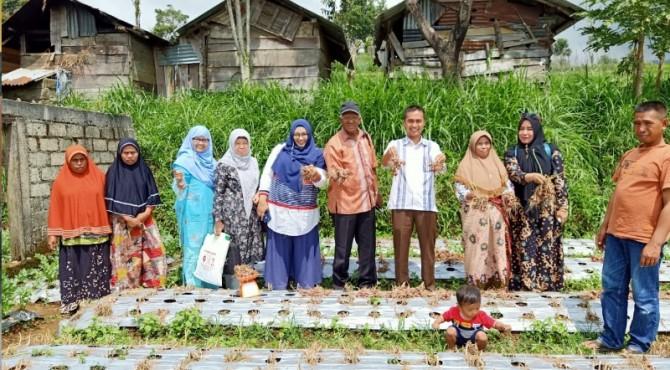 Tim dosen UMMY Solok panen bawang hasil pembinaan bersama kelompok tani mitra.