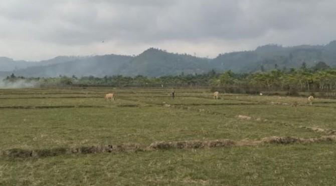 Kondisi Areal Persawahan di Nagari Rawang Gunung Malelo Pessel sedang Dilanda Kekeringan