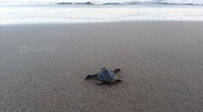 Seekor anak penyu (tukik) hasil penangkaran Komunitas Pandah Artgreen Maligi yang dilepas di sekitar pantai maligi kelaut lepas.
