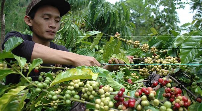 El Nino berdampak buruk bagi kopi