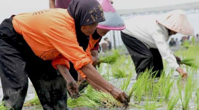 Petani menanam padi pada lomba tanam padi sistem Jarwo 2:1.