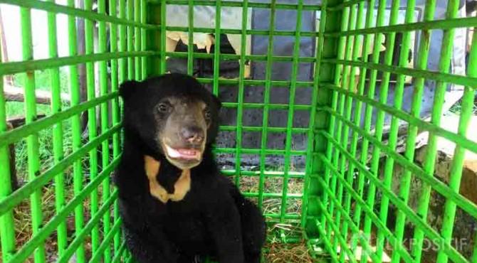 Beruang madu yang ditangkap warga Solsel.