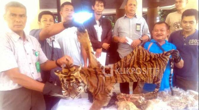 Kulit harimau yang diamankan oleh Tim Gakkum Dirjen BPPLKH dan BKSDA Sumbar dari 5 pelaku.