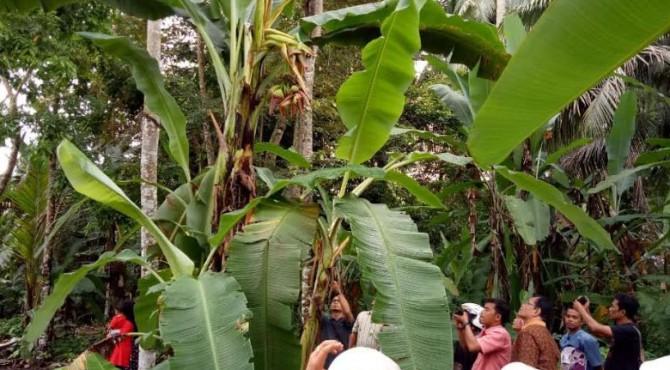 Warga Desa Kampuang Baru, Kota Pariaman heboh dengan ditemukannya pisang bertandan dua