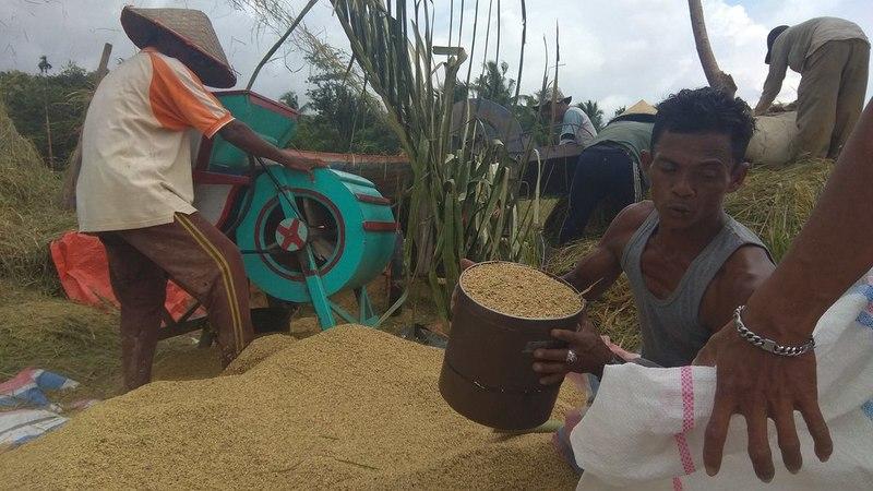 Petani di Kecamatan Sutera, Kabupaten Pesisir Selatan tengah panen raya, Jumat, 15 Maret 2019