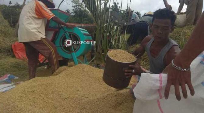 Panen padi di Kabupaten Pesisir Selatan