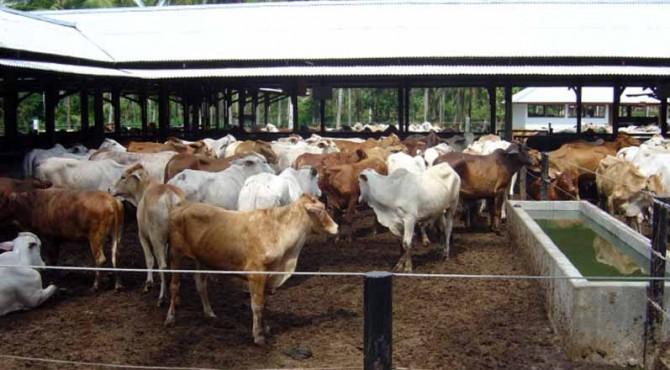 Peternakan sapi di Sumbar.