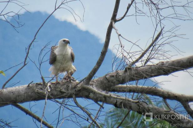 Salah seekor elang yang mendiami alam liar di Pantai Maligi Pasaman Barat