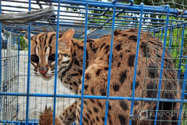 Satwa liar yang dilindungi Kucing Kuwuk sebelum dilepaskan ke Cagar Alam Rimbo Panti di Kabupaten Pasaman