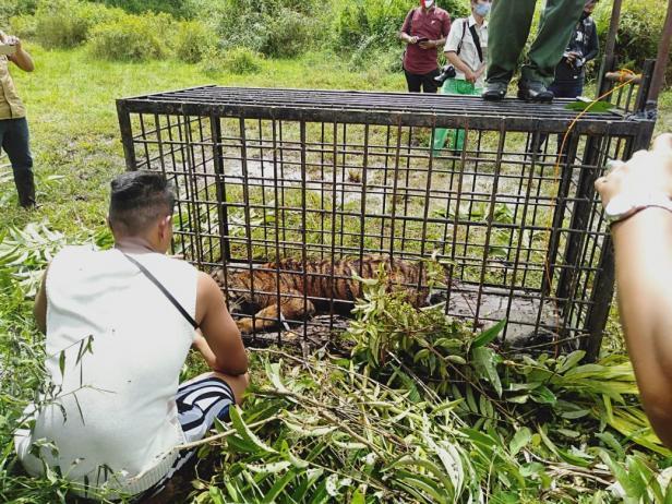 Anak Harimau Sumatera yang tertangkap di Lubuk Aluang
