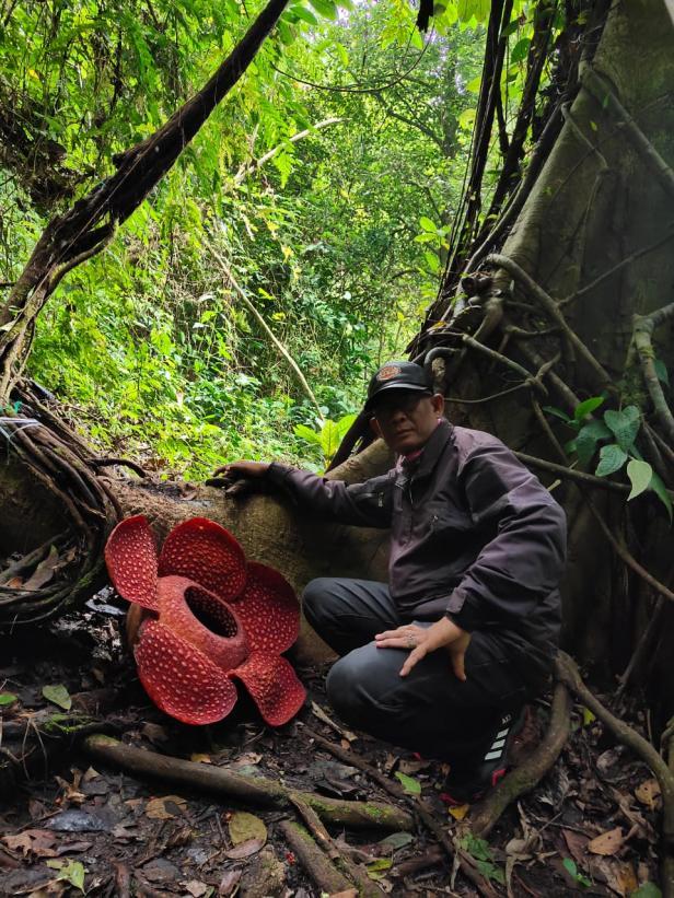 Bunga Rafflesia Mekar di Palupuah