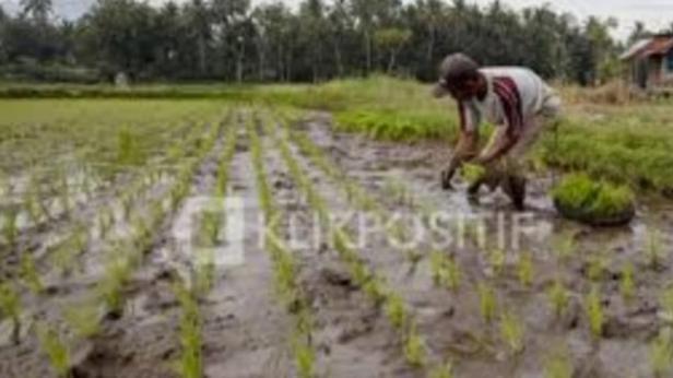 Seorang petani menanam padi di sawah