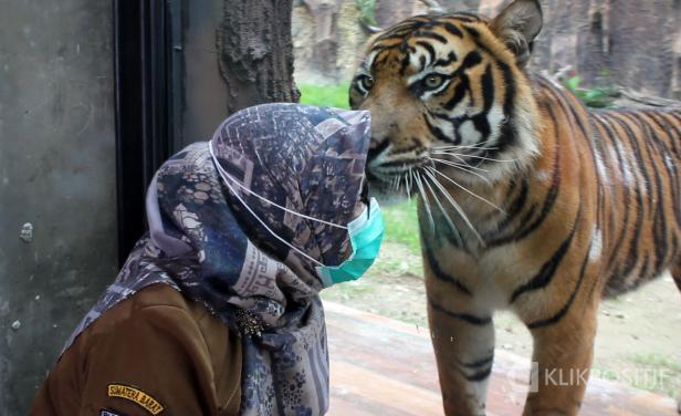 Petugas TMSBK Bukittinggi berpose dengan Harimau Sumatra, Senin (11/01/2021)
