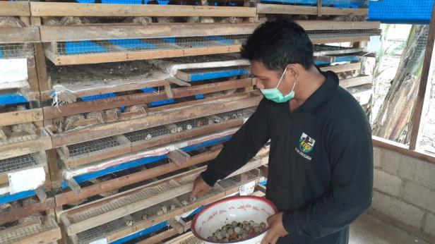 Ketua Forum Nagari Padang Besi Armaigus sedang mengumpulkan telur puyuh untuk dijual.
