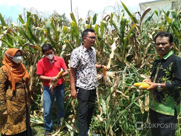 Diperkirakan Capai 3 Ton, Mahasiswa Fakultas Pertanian UM Sumbar Siap Lakukan Panen Jagung di Payakumbuh