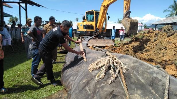 Detik-detik penguburan Hiu Tutul yang tersangkut jaring nelayan di Pantai Lansano Taratak-Sutera