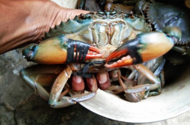 Kepiting Bakau Pasaman Barat dari Kampung Maligi