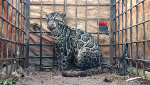 Macan dahan yang berhasil ditangkap BKSDA di Lima Puluh Kota.