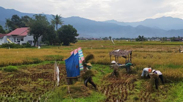 Panen padi di Kota Padang