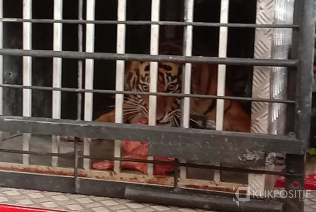 Harimau Sumatera atau biasa disebut oleh warga Kecamatan Sungai Aur Harimau Sipogu sebelum dilepaskan ke Hutan Pasaman Raya di Pasaman Barat