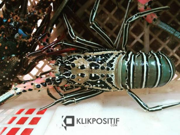 Lobster Mentawai