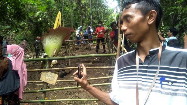 Indrianto salah seorang pemuda yang menunjukan perkembangan bunga bangkai di Kampung Akat-Pessel