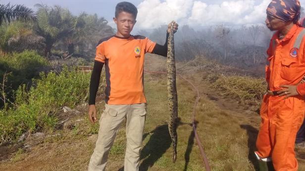 Personel BPBD Agam menemukan ular piton mati di lokasi kebakaran lahan