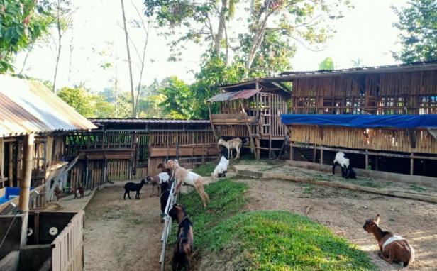 Usaha ternak kambing yang dikembangkan Hendra Saputra di kawasan Galanggang Batuang, Kota Solok