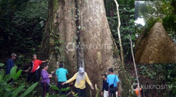 Salah satu pohon di Nagari Koto Malintang