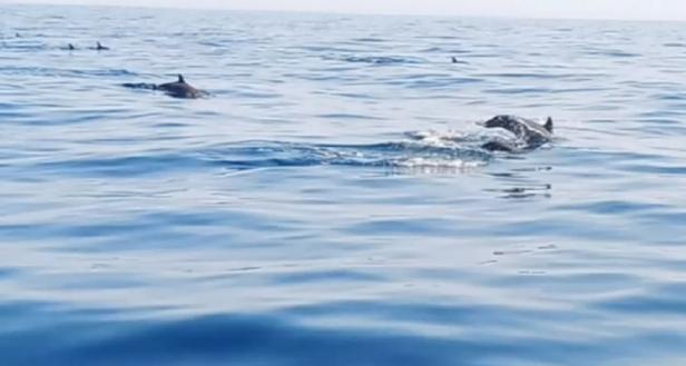 Koloni lumba-lumba mendakati kapal pengunjung menuju Pulau Pandan
