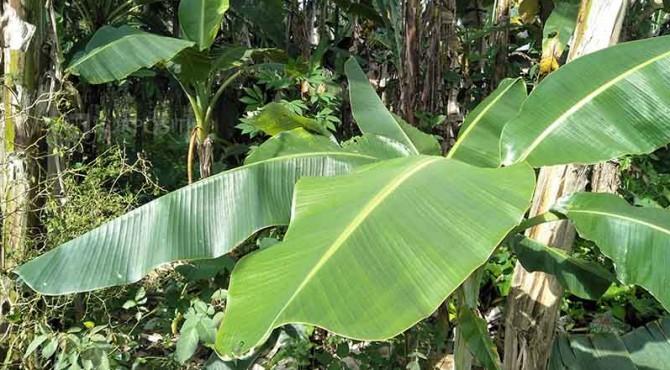 Beberapa tanaman Buah Pisang di Kebun Masyarakat pada Kawasan Kabupaten Padang Pariaman.