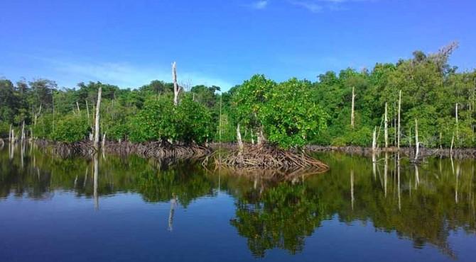Hutan Mangrove di Mentawai