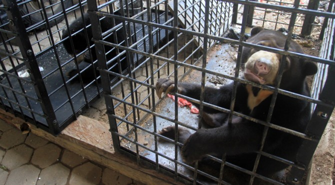 Dua ekor beruang madu yang butuh tempat rehabilitasi saat ini ada ditangan BKSDA Sumbar