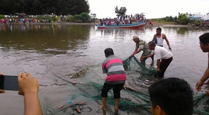 Penangkapan buaya oleh warga di Muara Surantih Pessel tahun 2017 yang lalu.