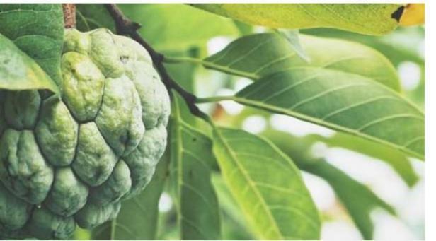 Buah dan daun Srikaya.