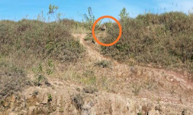 Tertangkap kamera warga, begini penampakan Harimau Sumatra yang muncul di kawasan Simpang Tanjuang Nan Ampek, Kecamatan Danau Kembar, Kabupaten Solok - Sumbar