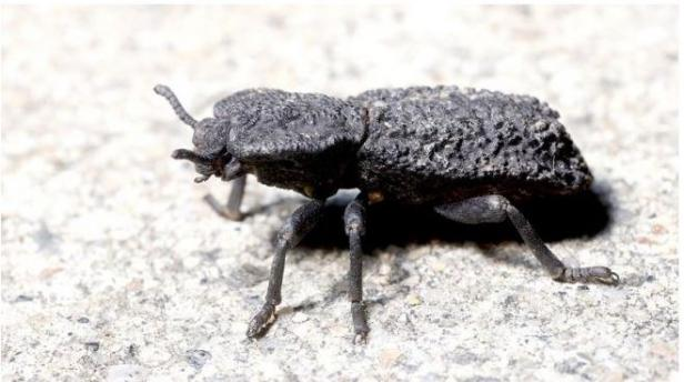 Kumbang Phloeodes diabolicus jadi inspirasi pembuatan mobil