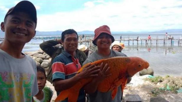 Ikan mas raksasa tertangkap di Danau Toba.