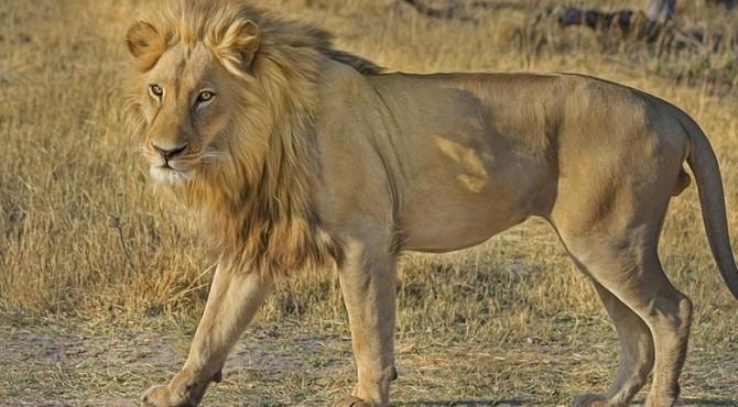 Polisi Pakistan menangkap seorang pria yang membawa singa peliharaannya untuk berjalan-jalan di malam hari di kota pelabuhan Karachi