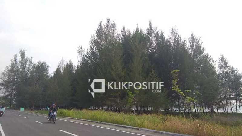 Pohon pelindung jenis Cemara Udang di Pantai Pariaman