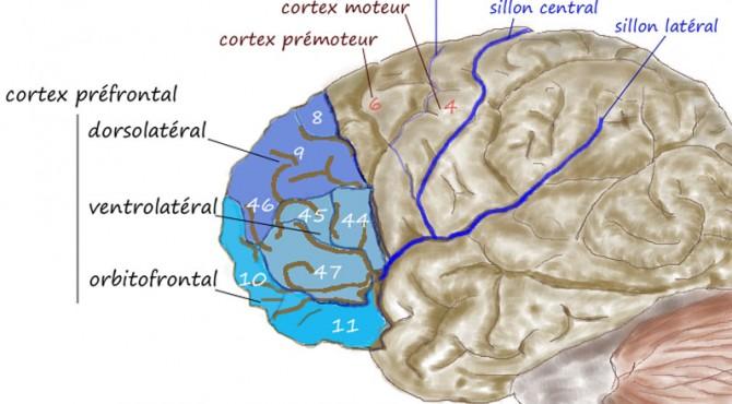 Bagian-bagian otak.