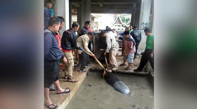 Tapir yang lepas di TMSBK Bukittinggi berhasil ditangkap.