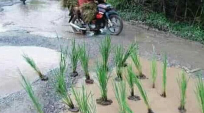 Warga tanam padi di jalan