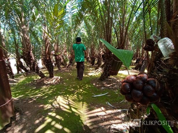 Agrowisata Salak Indosiar