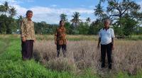 Peninjauan area pertanian yang diserang hama wereng
