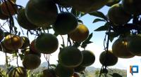 Ilustrasi jeruk