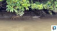 Penampakan buaya di Sungai Batang Sikabau saat pihak BPBD Pasaman Barat mencari korban Rusli