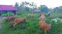 Sejumlah sapi milik Pesantren Darul Ulum Mentawai disebuah ladang rumput yang ada di kawasan Pondok Pesantren Darul Ulum.
